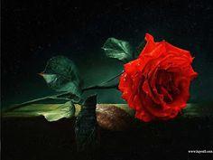 Lindas Rosas Vermelhas