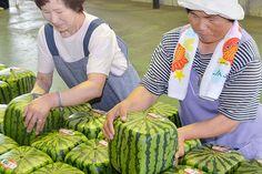 Las sandias producidas en Japón miden 19X19X19 centímetros y son cultivadas en contenedores transparentes cuadrados. Su precio ronda los 125 dólares por unidad