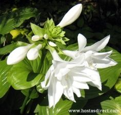 "'Aphrodite' Hosta - has very fragrant 6"" double white blooms; needs sun to flower"