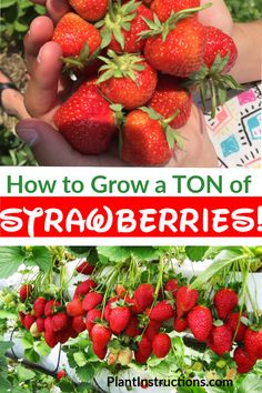 Strawberry plants – Growing strawberries – Growing strawberries in containers … - Modern Strawberry Varieties, Strawberry Garden, Fruit Garden, Strawberry Plant Care, Strawberry Planters Diy, Strawberry Plant Runners, Planting A Garden, Strawberry Tower, Gardens