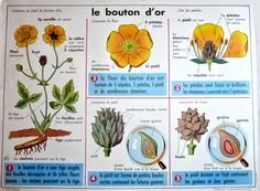 Vintage French School Botanical Poster of Buttercups and Vintage French Posters, French Vintage, Retro Interior Design, Eco Garden, French School, School Posters, Technical Drawing, Botany, Teaching Kids