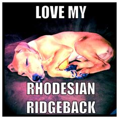 Puppies -Rhodesian ridgebacks