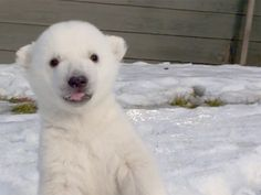 Baby polar bear meets snow for the first time [video]