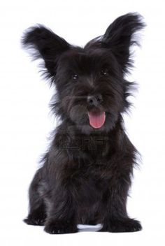 Cute Skye Terrier Puppy Photo