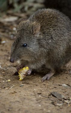 A Potoroo Finds A Treat. A small family of Long Nosed Potoroos live in the Land Of Parrots at Healesville sanctuary in Victoria, Australia. They do well on treats dropped by the messy parrots1