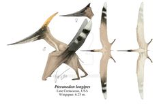 One more pterosaur. This time is Thalassodromeus sethi with its double-lobed crest. Tapejaromorph pterosaurs definitely have amazing crests!