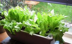 Tips For Growing Lettuce Indoors In Containers- Best Types Of Lettuce - The Self-Sufficient Living Growing Tomatoes In Containers, Plants, Small Indoor Plants, Growing Lettuce, Growing Lettuce Indoors, Hydroponic Gardening, Types Of Lettuce, Growing Vegetables, Types Of Succulents Plants