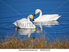 Stock Photo: Two whooper swans swimming in the lake in Finland. -