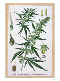 Cannabis Sativa, Botanical Plate prints, posters and photos ...