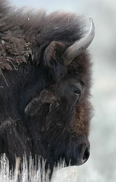 A bison in the snow.