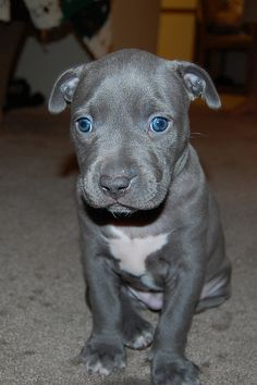 pitbull puppy | Flickr - Photo Sharing!