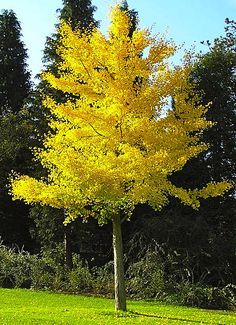 Gingko Biloba tree (fall foliage, hardy, plant males bc females have stinky fruit) Trees And Shrubs, Flowering Trees, Trees To Plant, Garden Trees, Garden Plants, Ginko Tree, Street Trees, Specimen Trees, Garden Pictures
