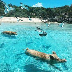 Grand Isle Resort & Spa located on the beautiful Emerald Bay Beach, Exuma. Pig Beach Bahamas, Bahamas Pigs, Bahamas Honeymoon, Bahamas Cruise, Cruise Vacation, Vacations, Bahamas Trip, Bahamas Resorts, Exuma Bahamas