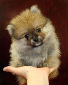 Petit chien qui tien que dans une main