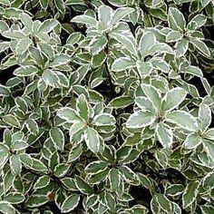 Pittosporum tenuifolium 'Marjorie Channon' (Variegated Kohuhu) (Brian likes these as shrubs