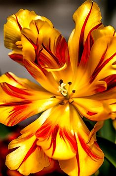 La tulipe - la grande diversité d'espèces                              …