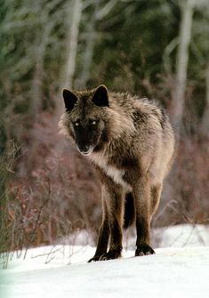 Gray wolf (Canis lupus) from the Sawtooth pack by Jim and Jamie Dutcher nothing like family