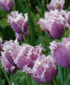 hybrid fringed tulips plant and flowers | Tulip Cummins