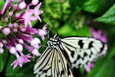 """Photo """"SingaporeButterflyI"""" by traceprinslooreppin"""