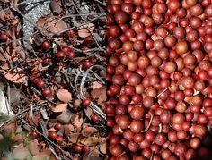 Manzanita berries. Taste like dried apples.