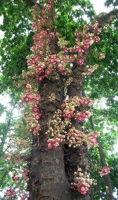 Couroupita guianensis - Cannonball Tree.