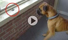 // // Some things are adorable beyond words! Warning, if you watch this once you might just watch is 10 times! When Leonardo the Boxer started barking uncontrollably, his owner ran into the room. To his surprise, he found his beloved …