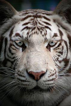Chocolate. White. Blue Eyes. Tiger.