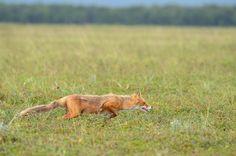 sleek stealthy fox