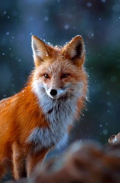The red fox lives along side wolves, coyotes and all the other animals.  Serving as a balance in nature to culling out the weak or sick or just larger numbers of all sorts of animals.