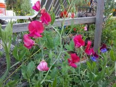 old spice sweet peas | My Happy Homestead