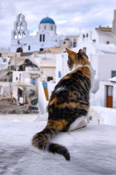 Cat in Pyrgos, Santorini