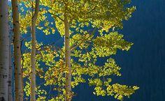Blue Aspens green