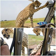 Nice kitty, amazing moment when the curious cheetah pop up on the hood of a car