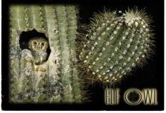 Elf Owl, the smallest owl in the world. It lives in abandoned nesting cavities made by woodpeckers in Giant Saguaro Cactus; from USA Elf Owl, Small Owl, Windmill, Creatures, Woodpeckers, Animals, Cavities, Abandoned, Cactus