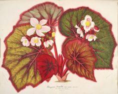 v.6 (1859) - L'Illustration horticole : - Biodiversity Heritage Library