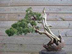 5 - Juniperus (01/2016)