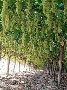 This grape vineyard is satisfying Find out when we have more -. Grape Tree, Grape Plant, Grape Vines, Fruit Plants, Fruit Garden, Fruit Trees, Agriculture, Wine Vine, Grape Vineyard