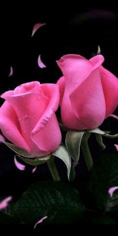 Beautiful Flowers Wallpapers, Beautiful Rose Flowers, Exotic Flowers, Amazing Flowers, Pretty Flowers, Pink Flowers, Rose Flower Wallpaper, Rosa Rose, Hybrid Tea Roses