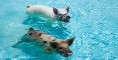 Swimming pigs at Fowl Cay Private Beach Resort & Luxury Beach & Ocean Villas: Exuma, Bahamas