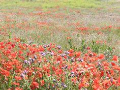 La belleza de un campo de amapolas