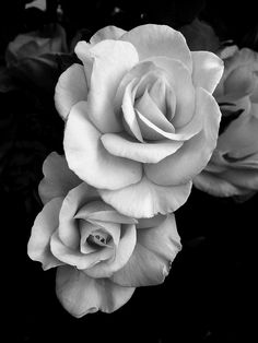 roses in black and white