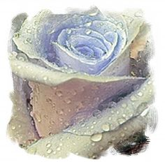 "A SmudgeArt Flower Artwork Creation ""A Rose Is A Rose"". A stunning rose with rain drops given a digital painting Cellphone Wallpaper, Phone Wallpapers, Flower Artwork, Rain Drops, Water Drops, Rose Art, Framed Prints, Art Prints, Blue Tones"