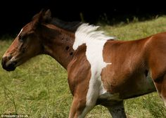 Ever get the feeling you're being foal-lowed? This chestnut horse was born with his own perfect white shadow