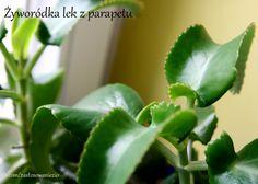 Żyworódka to piękna i jedyna w swoim rodzaju roślina doniczkowa, która jest domowym lekarstwem na przeziębienie, bóle reumatyczne, cukrzycę, na wypryski, trądzik, a nawet ból zęba. Chcesz wiedzieć kiedy i jak ją stosować? Zapraszam na wpis.