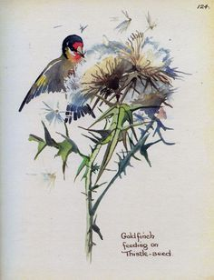 Goldfinch eating seeds - Morning Earth Artist/Naturalist Edith Holden