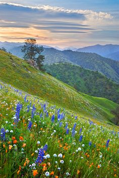Wildlfowers in the Tehachapi Mountains along the Caliente-Bodfish highway east of Bakersfield, California, by Mark Geistweite