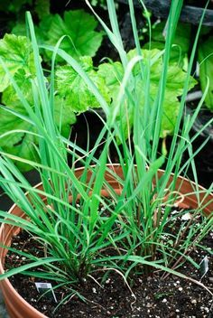 Information And Tips For Growing Lemongrass Plants
