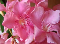 OLEANDER HAUS  Nerium Oleander Gotsis Andromache Rose Bay, Nerium, Natural Beauty, Sweet, Flowers, Plants, Gardening, House, Floral