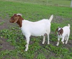 LOVE boar goats. I have boar goats and I love them!