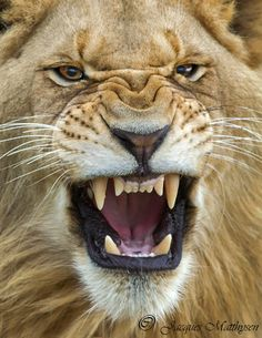 "Lion: ""My Happy Face!"" (Title Given By The Photographer: © Jacques Matthysen… - Tatuering Lion Images, Lion Pictures, Beautiful Lion, Animals Beautiful, Angry Animals, Cute Animals, Lion Africa, Lion Photography, Wild Lion"